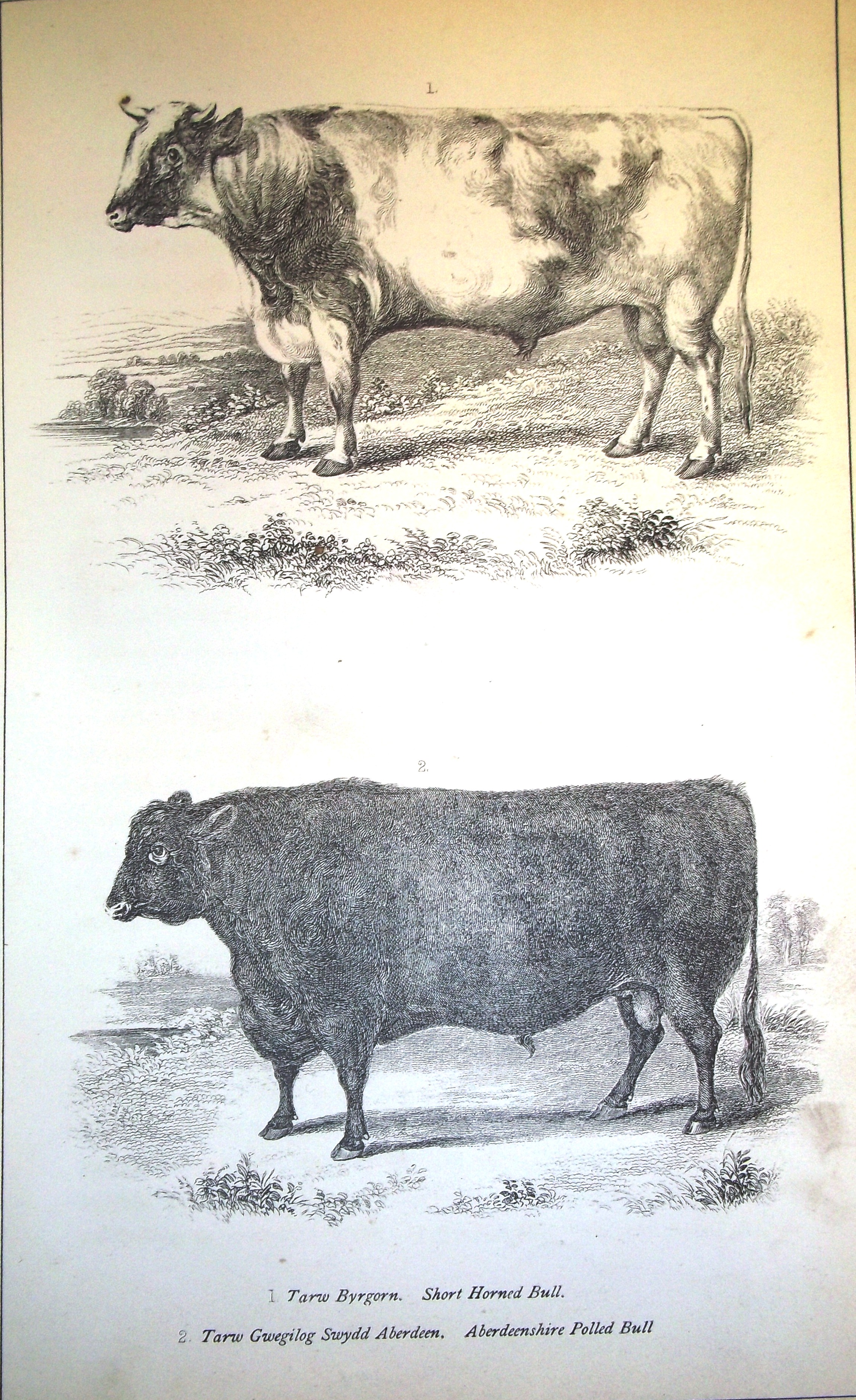 Plate 5 - Short Horned and Aberdeenshire Polled bulls