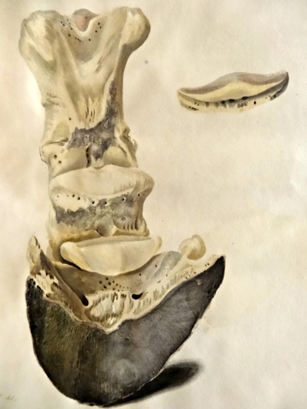 Plate 4. Back view of the bones of the fore foot in their relative situation