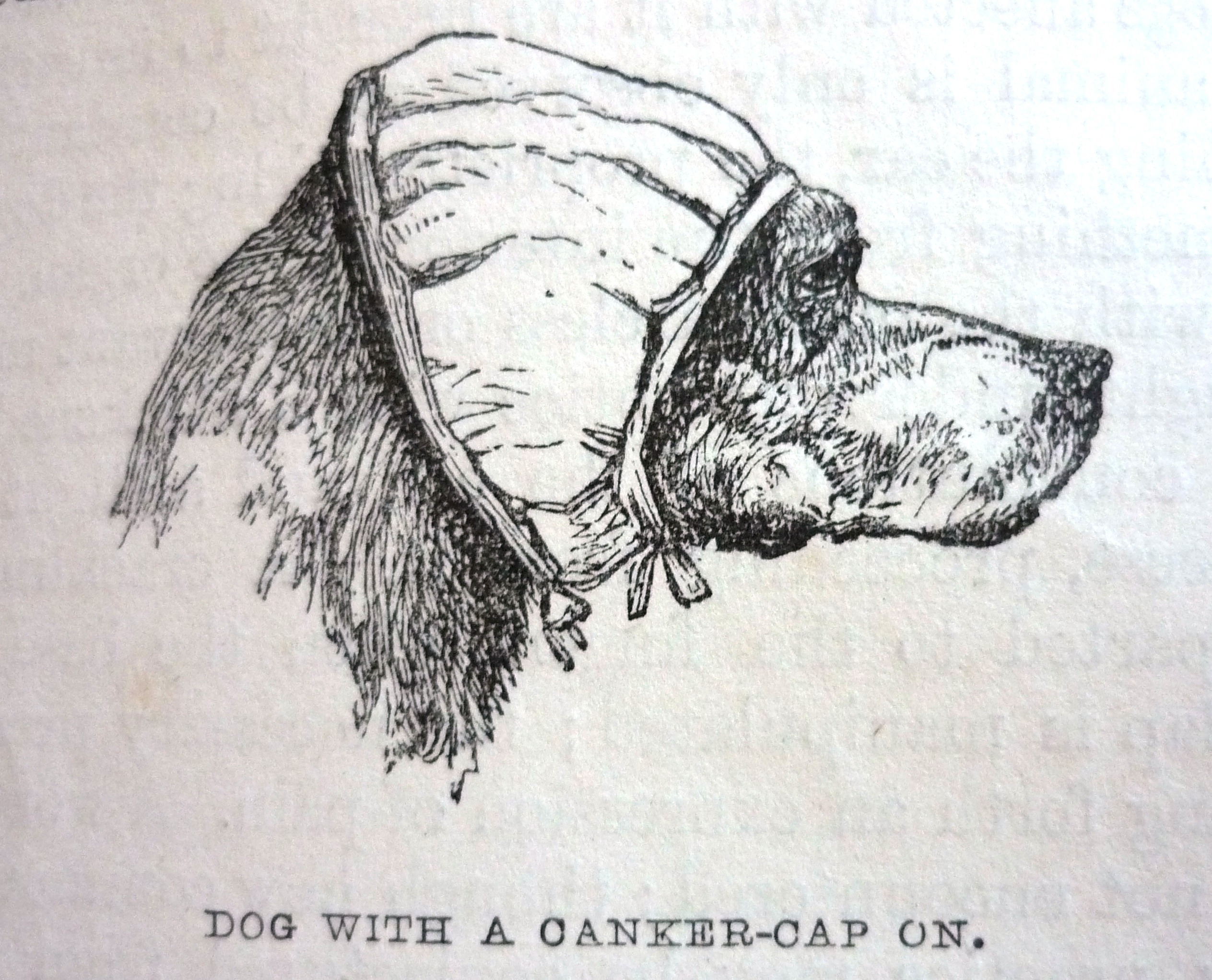 Edward Mayhew's Dogs: their management - Dog with canker cap on