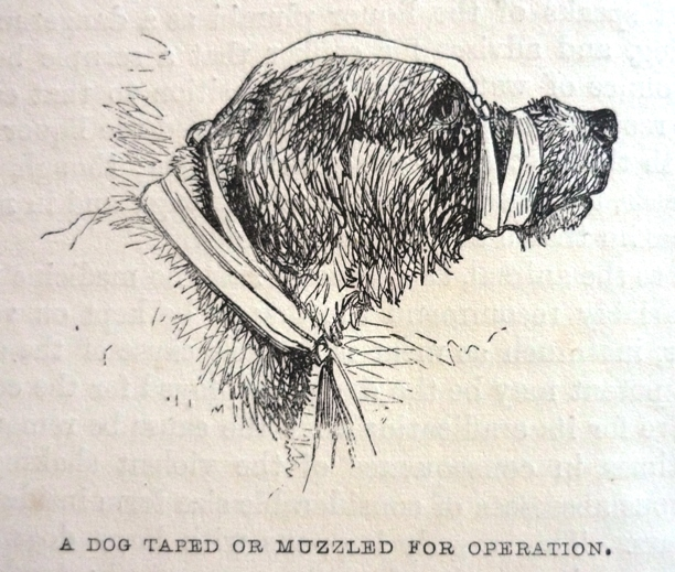 Edward Mayhew's Dogs: their management - A dog taped or muzzled for operation