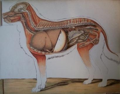 The Dog: its external and internal organisation. Plate 5 the internal organs